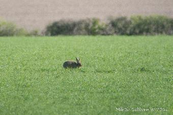 Distant hare!