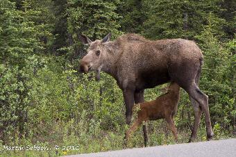 Moose and Calf - Denali National Park
