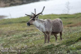 Caribou - Denali National Park