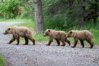 Followed by 3 yearling cubs