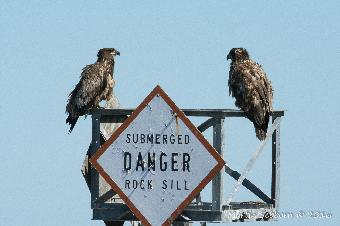Two young Bald Eagles