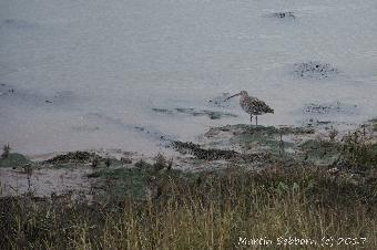 Curlew at Wells