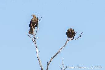 Eagles in a tree, waiting to get back to a kangaroo carcass