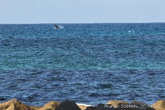 Its a long way off, but a humpback breaching!