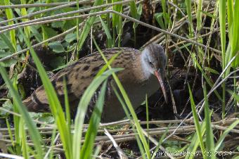 Water Rail - a very shy bird
